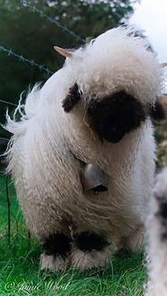 prendwick farm, valais blacknose sheep, aberdeen Angus | Valais Blacknose Sheep for Sale