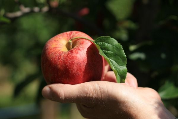Gala apple picked at Ferme Courtois in Versoix, Switzerland. On SavvyLittleSparrow.