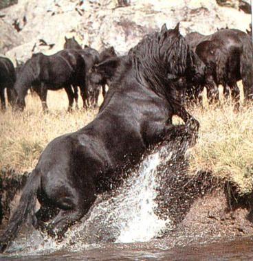 Le Mérens était un petit cheval de trait des Pyrénnées, qui a failli disparaître. Il vit en troupeau en montagne, mais ce n'est pas un cheval sauvage. Le modèle actuel est plus léger, c'est un excellent cheval de randonnée.