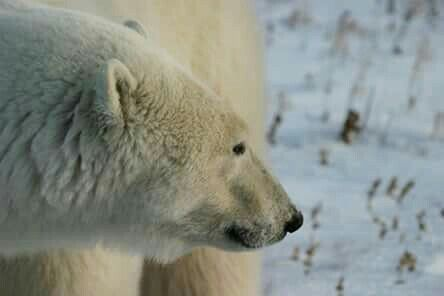 2004 Earthwatch Volunteer, Polar Bear Study,  Northern studies Centre , Churchill, Manitoba, Canada