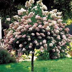 Best 25+ Hydrangea pinky winky ideas on Pinterest   Hydrangea ...