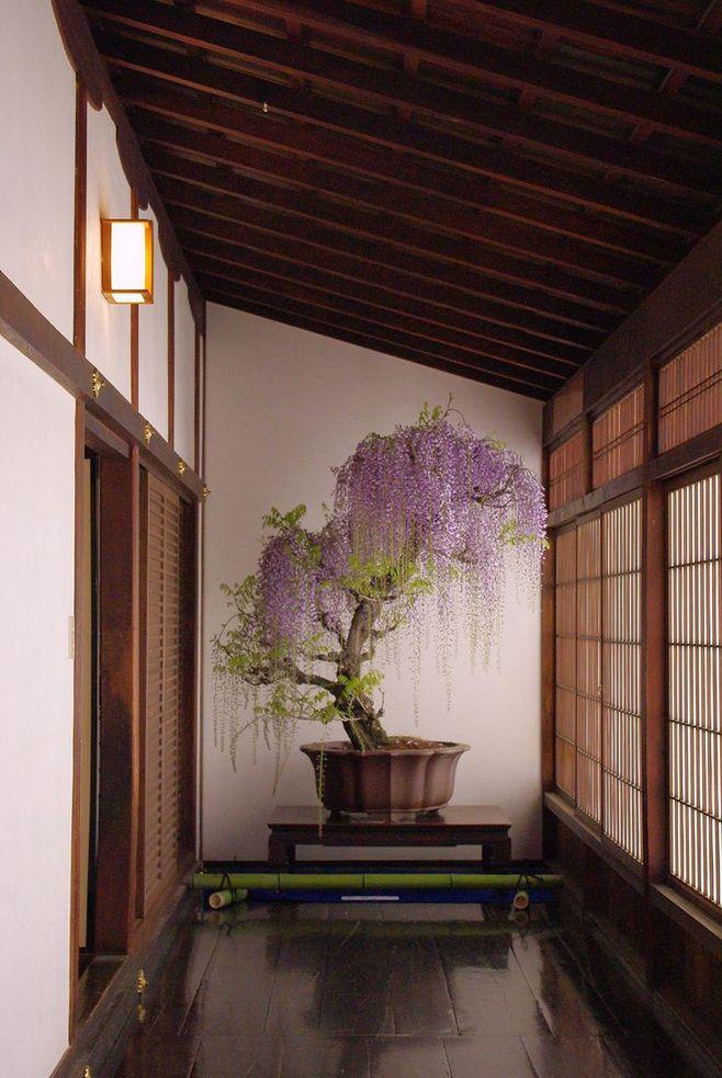 紫藤,冥想室和盆景