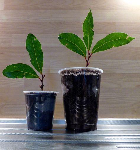 the 25+ best bouture laurier ideas on pinterest | plantation