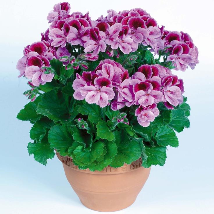 Martha Washington Geraniums Care: Regal Geraniums So Pretty. On Sale At Kroger For 7.99