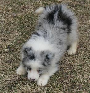 Blue Merle Border Collie Puppies