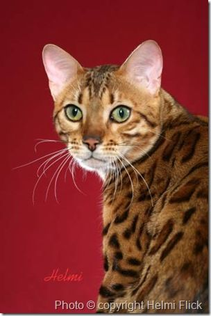 Bengal Cat...hum, it looks like a cat I know!
