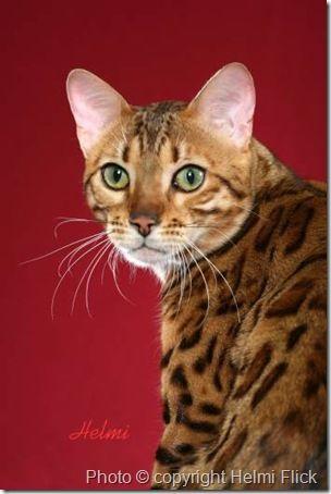Bengal-cat-Induna...what a great face!