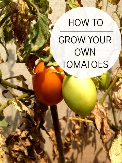 How To Grow Your Own Tomatoes - Jessiker Bakes | The Blog