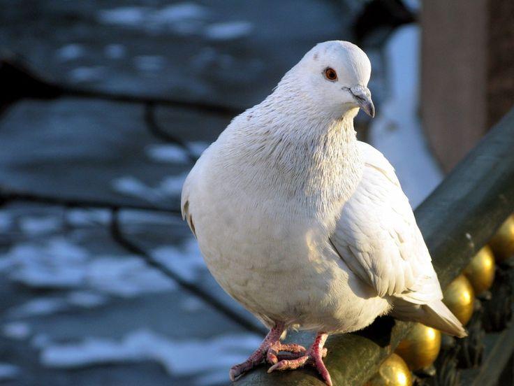 Imágenes de Pájaros: Palomas Blancas