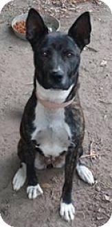 Birmingham, AL - Dutch Shepherd/Siberian Husky Mix. Meet Duchess, a puppy for adoption. http://www.adoptapet.com/pet/16549466-birmingham-alabama-dutch-shepherd-mix