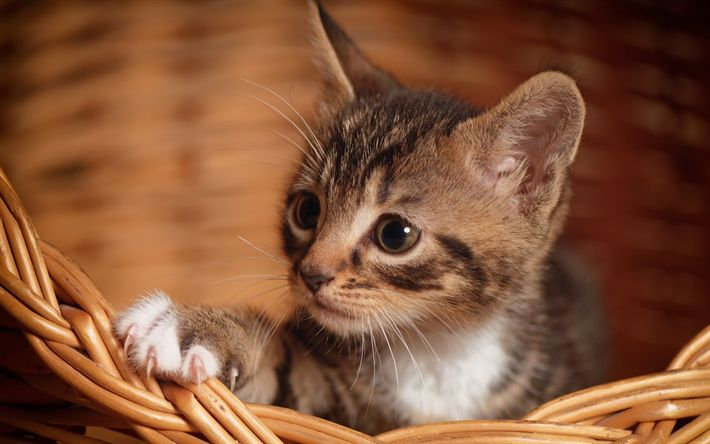 Download wallpapers small gray kitten, cute animals, domestic cats, basket, small cat, kittens