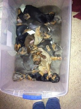Litter of 9 Doberman Pinscher puppies for sale in FOWLER, OH. ADN-20762 on PuppyFinder.com Gender: Male(s) and Female(s). Age: 9 Weeks Old