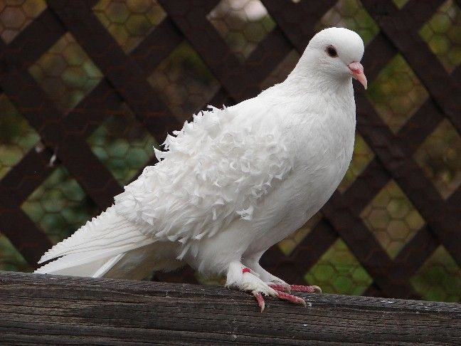 This is the prettiest white dove I've ever seen.