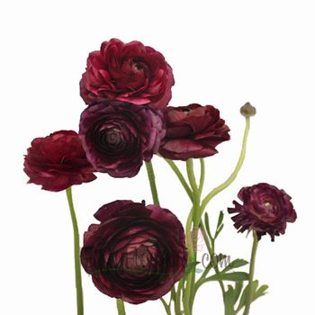 Chic, stylish, and still a thrilling color, Burgundy Wine Ranunculus balance fashion and excitement perfectly. The focal flower has a single cup-shaped bloom at the end of a long stem, each decorated with thin petals displaying a gorgeous gradient from light ruby edges towards a rich burgundy center.  Highlight this intense gradient by pairing with Blush Pink Peony Flowers, Polar Star White Roses, White Veronica Flowers, and Tree Fern Filler Greenery.