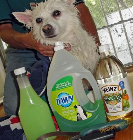 Homemade Flea Shampoo!!!  1 cup Dawn dish soap	  1 cup white vinegar  1 quart warm water  Directions:Mix the three ingredients and put into squeeze bottle. Give it a little shake to make sure it is mixed.  Apply to your dog just as you would normal shampoo. Massage into fur and let sit for 5 minutes. Rinse dog thoroughly with warm water. Towel dry.