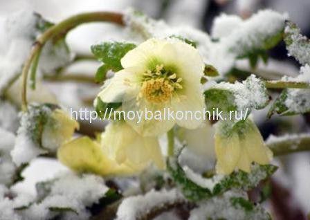 <p>Довольно+необычное,+но+популярное+за+рубежом+растение+–+морозник,+приобретает+все+большую+популярность+среди+любителей+цветущих+растений.+Нежные,+прочные+и+долговечные+растения+оживают,+несмотря+на+мороз+или+дождь.+Содержание+статьи1+Зимние+растения+для+балкона+–+морозник1.1+Преимущества+содержания+Морозника,+Рождественской+розы1.1.1+Выращивание+в+горшках1.1.2+Советы+по+уходу1.2+Посмотрите,+это+может+…</p>