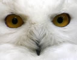 Image result for white snowy owls