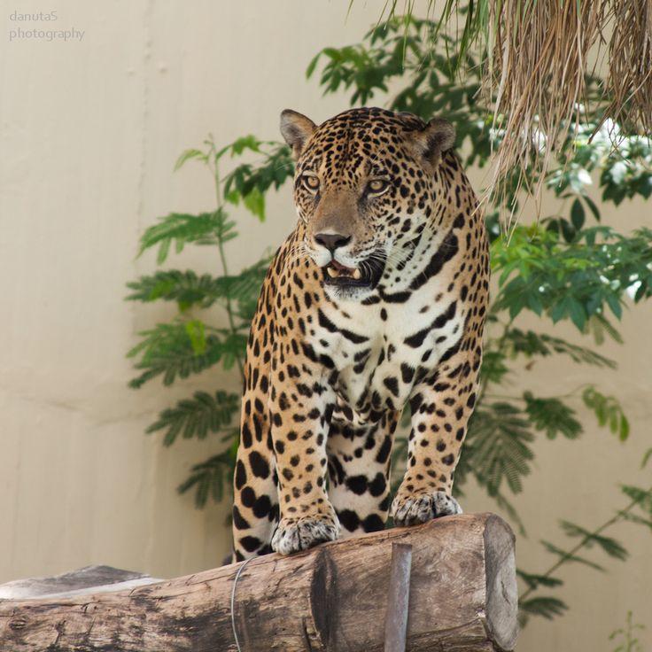 jaguar in tiwanaku puma - Yahoo Image Search Results