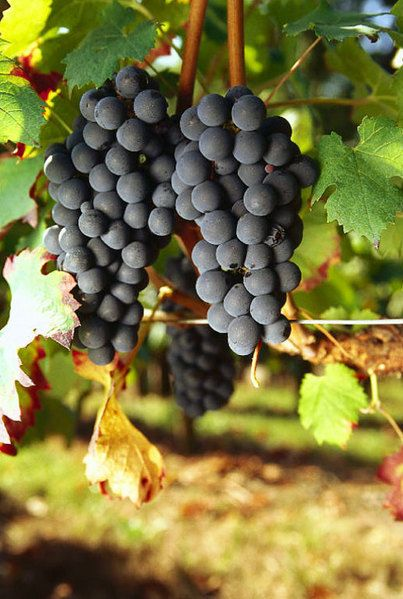 Carmenère is the signature red win grape in Chile. Characteristics include: dark, tannic, rich, blackberry, dark cherry, blueberry, sage, rosemary, dark chocolate, espresso, tobacco. http://www.snooth.com/varietal/carmenere/