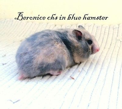 Beronice chs in blue hamster