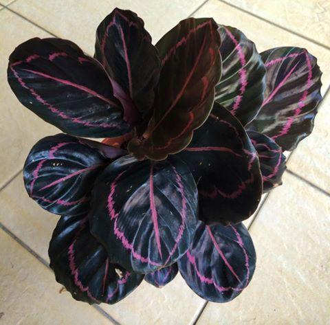 Calathea roseopicta 'Dottie', AKA Prayer Plant - Cat safe