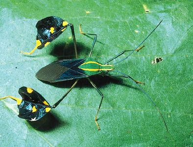 Amazonian leaf-footed bug (Diactor bilineatus)