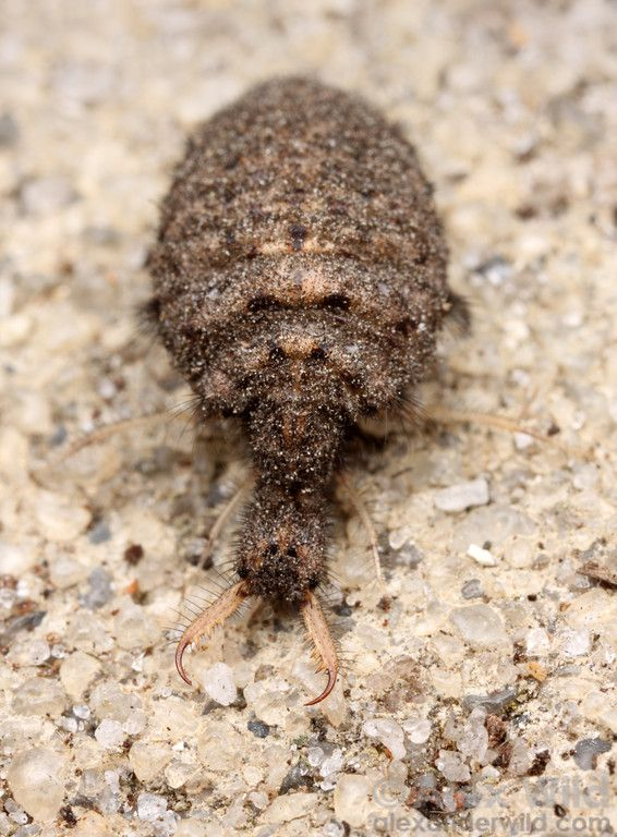 An antlion larva (Myrmeleontidae) removed from its sand pit.  Archbold Biological Station, Florida, USA