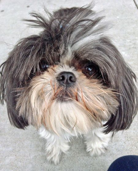 angelbaby shih tzu 1000 images about shih tzu s on pinterest too cute so 9832