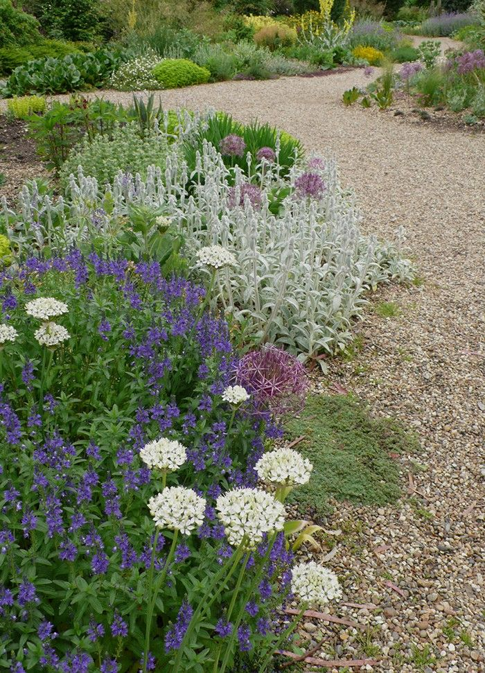 Beth Chatto's Gravel Garden. Cool colors in a hot garden: allium Nigrum is planted with veronica 'Kapitan', stachys byzantia, and a. cristophii.