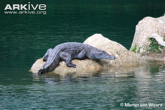 The Philippine crocodile is one of the most endangered freshwater crocodiles