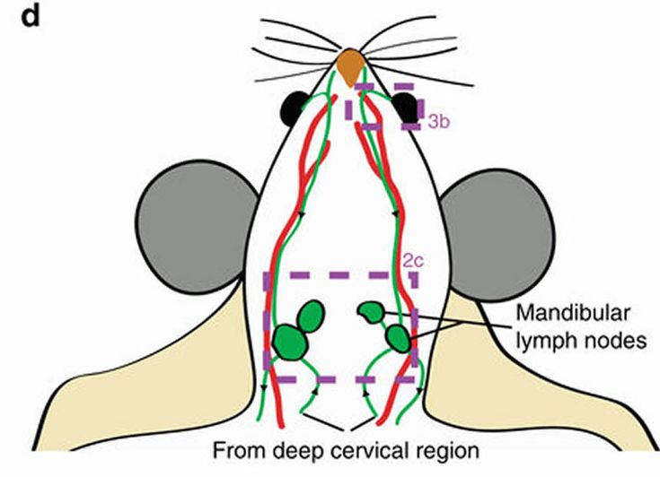 A new study in Nature Communications refutes long standing belief, reporting that cerebrospinal fluid exits the cranial cavity via lymph vessels.