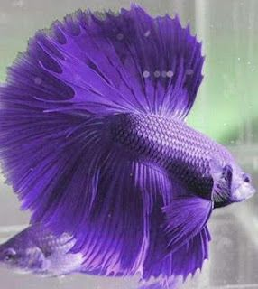How to raising the betta fish | About Your Pet