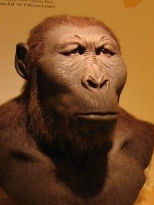 Parantropus robustus;Vivió en un periodo entre 2 y 1.2 millones de años por lo que pudo convivir con otras especies de nuestro linaje.Sólo ha sido hallada en Sudáfrica, y su especialización parece ser menor que la de su primo el Paranthropus boisei, quizás porque no vivió en medios tan secos como aquél. .
