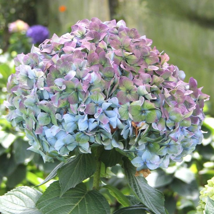Fresh Bulk Antique Blue Wholesale Hydrangea ($3.02 to $3.27 per stem) – Flowers by Gallon E&I