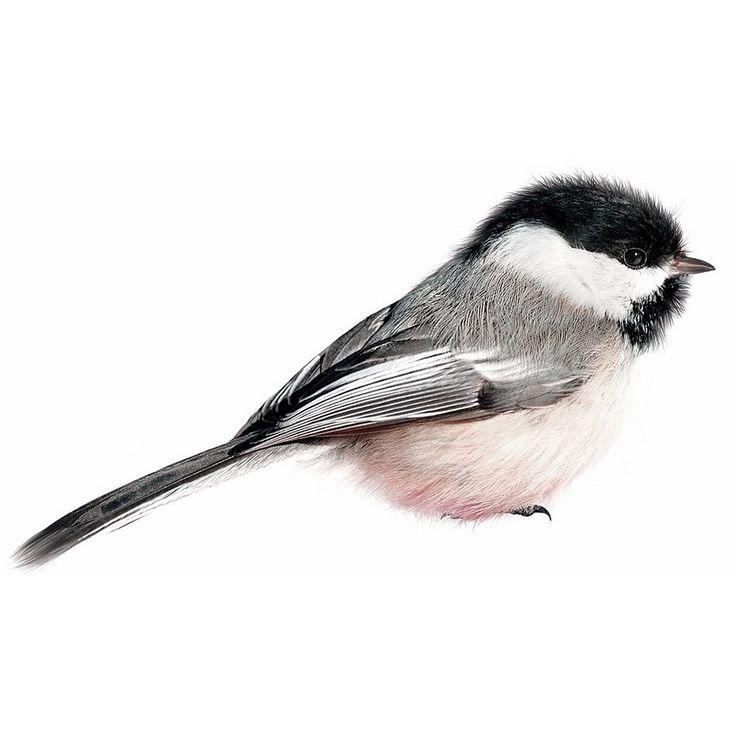 KEK Amsterdam Birds Muursticker - Amerikaanse Matkop