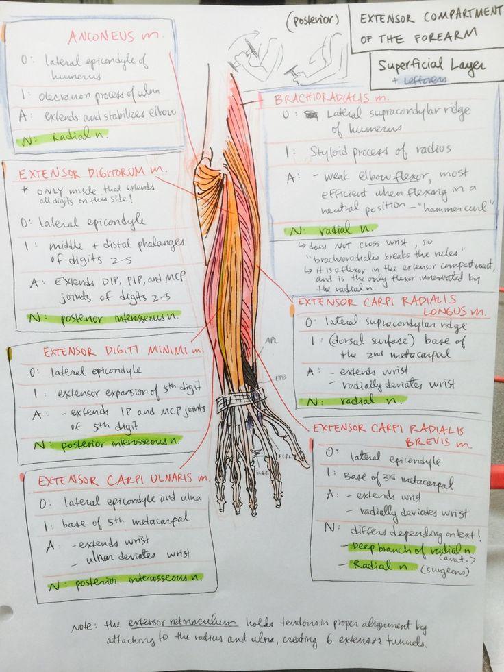 Old Fashioned Anatomy Mnemonics Upper Limb Festooning Human