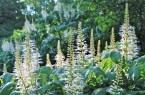 aesculus parviflora blooms (bottlebrush buckeye); for side garden along new fence