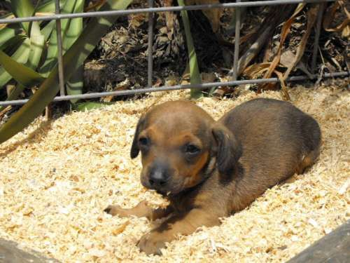 Australian koolie dog photo puppies for sale dogs for