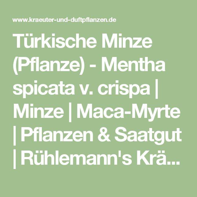 Türkische Minze (Pflanze) - Mentha spicata v. crispa |    Minze |   Maca-Myrte |   Pflanzen & Saatgut | Rühlemann's Kräuter und Duftpflanzen