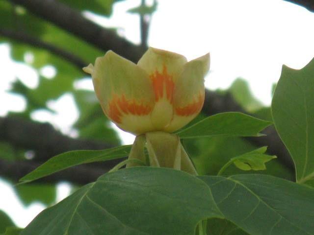 5月30日【ユリノキ(百合の木)】学名:Liriodendron tulipifera別名:ハンテンボク(半纏木; 葉の形が半纏に似ることから)、チューリップツリー形態:落葉樹 樹高:高木分類:モクレン科花色:淡い黄緑色使われ方:庭木、公園樹、街路樹などとして使われています。北米では重要な蜜源植物で、良質の蜂蜜が得られる。