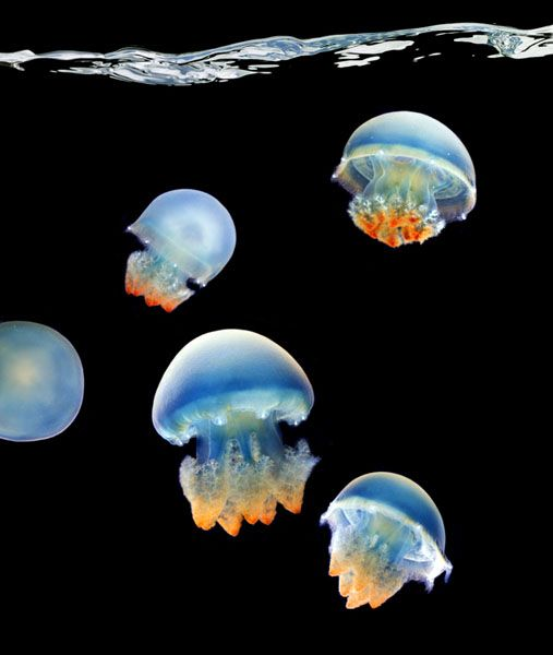 Beautiful jellyfish shot: Mark Put, Sea Life, Sea Creatures, Marines Life, Marklaita, Blue Blubber, Jelly Fish, Blubber Jellyfish, Animal