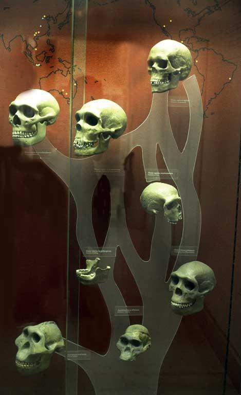 Skull tree australopithicus homo erectus homo sapiens for Evolution tattoo studio