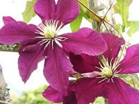 Clematis Jackmanii Flowers /  If plants become bare at the bottom prune back to a pair of healthy buds in late winter to very early spring. Feed monthly with 10-10-10 from April to Aug. except when actively blooming.