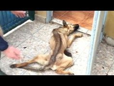 See abandoned dog's amazing transformation Gepubliceerd op 26 apr. 2016 An abandoned dog in Granada, Spain, is getting a second chance at life after being rescued and rehabilitated by local animal rescue Otra Oportunidad.