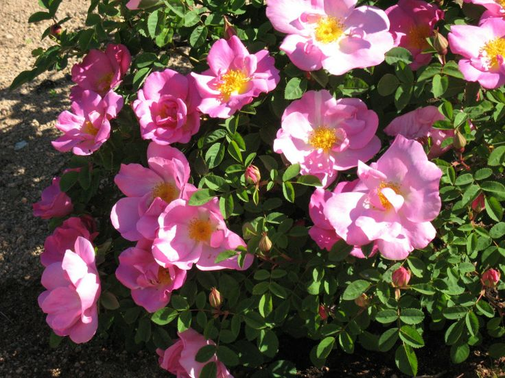 rosa marguerite hilling