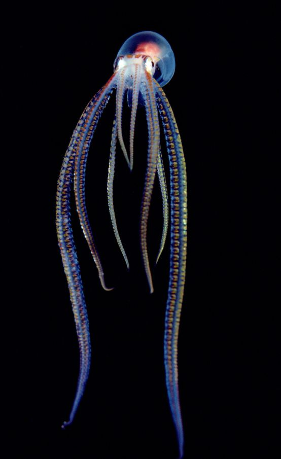 """cephalopod..looks like something from the movie """"The Abyss"""""""