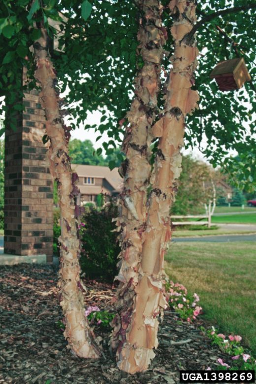 Fast growing shade trees are a frequent need for homeowners and other planning landscapes.  Some of the fastest growing shade trees frequently recommended are not good additions to most landscapes, but there are many which are ideal for the job.