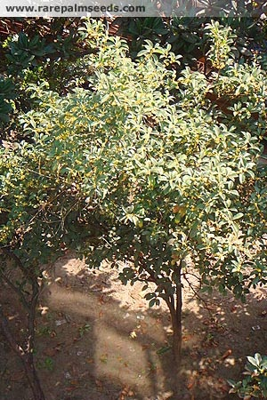 Osmanthus fragrans (Sweet Olive, Sweet Osmanthus)