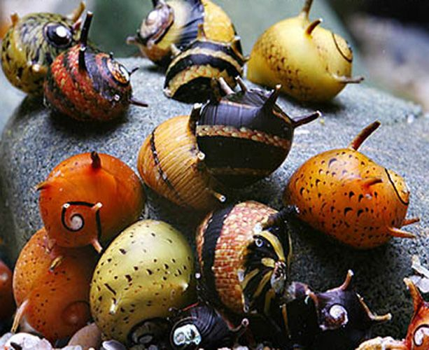 The horned nerite snail.