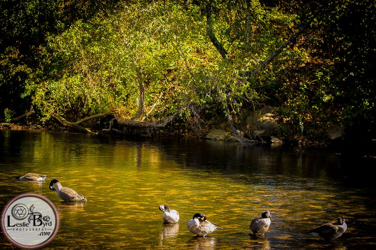 A flock of geese find retreat in the North Georgia Mountains on this city park's riverway